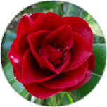 A Japanese Rose